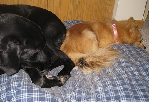 Ace my black lab mix mutt dog and Elli the Pomeranian mix who I fostered