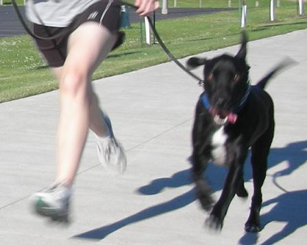Dog runner with a black lab mix dog running! How to run with a dog
