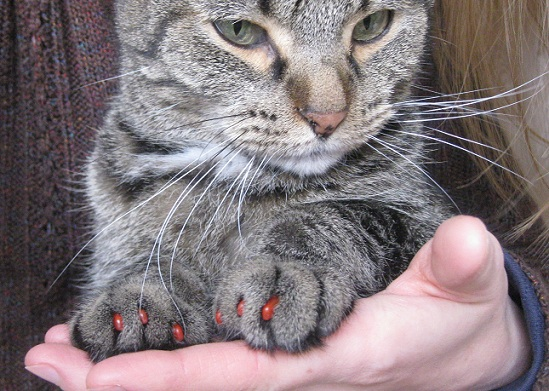 Tabby cat wearing red Soft Claws nail caps for cats