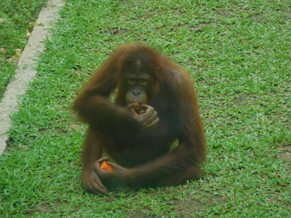 Orang Oetans spotten in Sepilok, Maleisisch Borneo