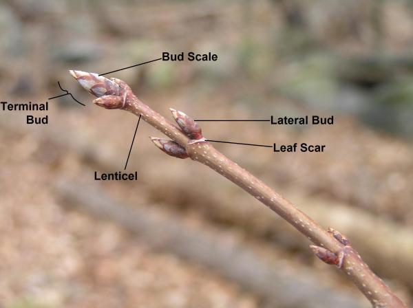 Parts Of Twig Winter Plant Geek