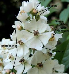 parts of a flower multiflora rose rosa multiflora  [ 864 x 1152 Pixel ]