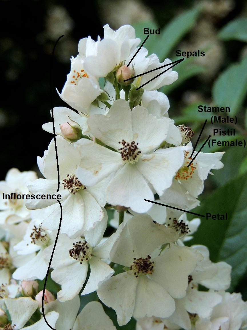hight resolution of parts of a flower multiflora rose rosa multiflora