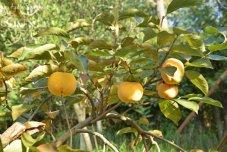 kaki-fruits