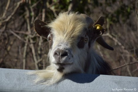 goat on the street to Varese Ligure