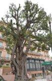 tree Menton