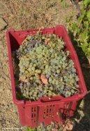 grapes Cinque Terre