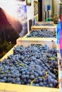 red grapes Riomaggiore