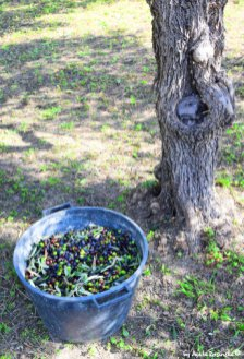olives and olive tree