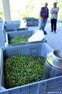 olives harvest in Liguria