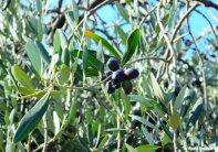olives on the tree