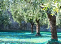 olives trees Lavagna