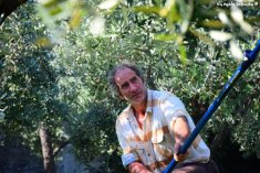 picking olives Liguria