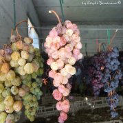 colors of grapes