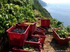 grape harvest Riomaggiore Cinque Terre