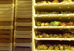 grapes drying for sciacchetrà