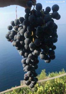 grapes of Sciacchetrà2