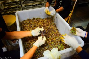shacking sciacchetrà grapes