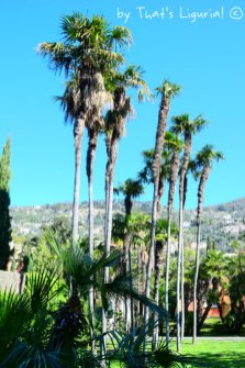 palms in Nervi Parks
