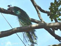peacock Arenzano