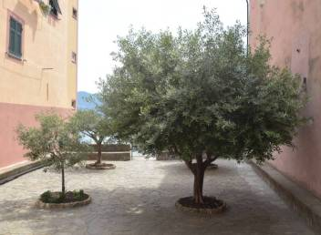 olive trees Sori