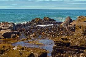 Massive kelp