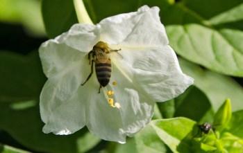 honey bee and white flower