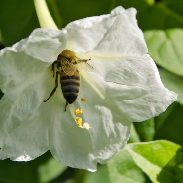 honey bee and white flower