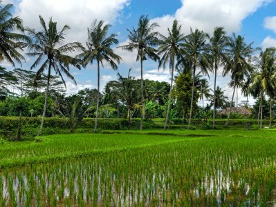 palm trees by the rice field