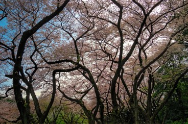 Cherry Blossoms way up in the sky