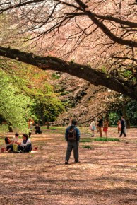 Family picnic under the Cherry Blossoms