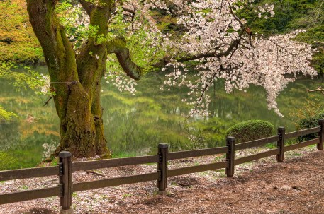 Beautiful Cherry Tree by the water