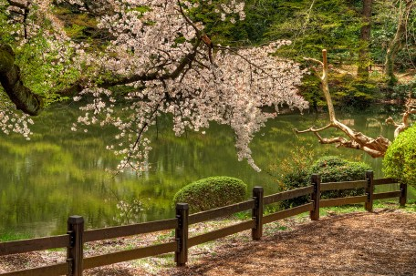 Cherry Blossoms by the Fence