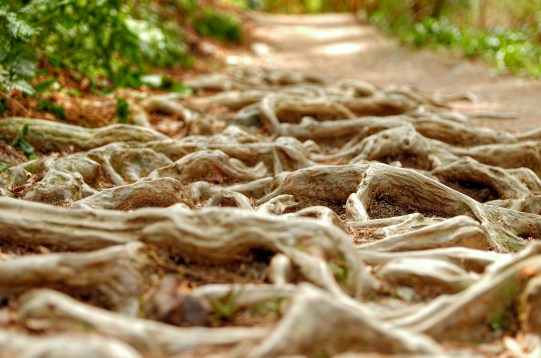 Closeup of Tree Roots on Hiking Trail