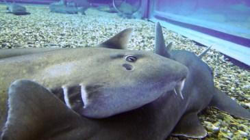 Sleeping shark