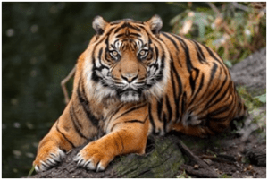 Tiger | Top 10 strongest animals