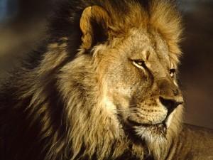 Top 10 Dangerous Animal - African Lion
