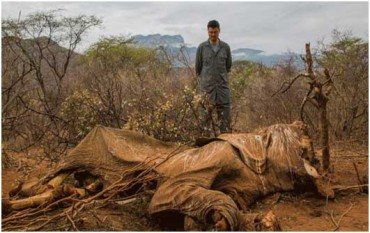African-Elephant - Top 10 animals being killed by poachers