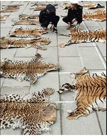 Tiger - Top 10 animals being killed by poachers