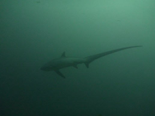 Thresher shark diving