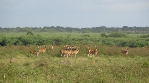 Barking deers at Baluran National Park