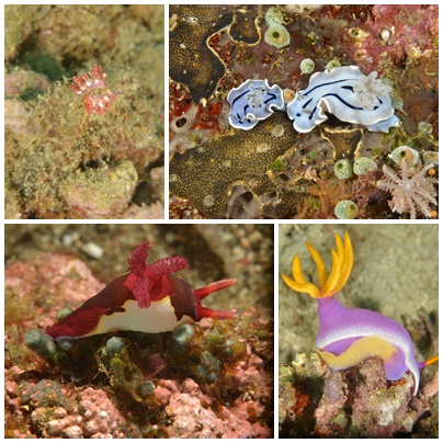 Nudibranch of Anilao