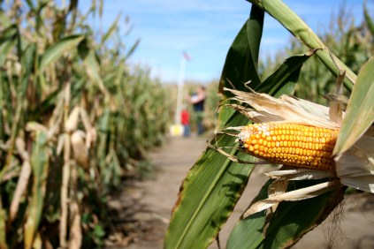 TheMaize2