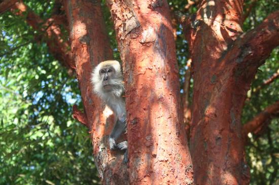 singapore_bukittimah_monkey
