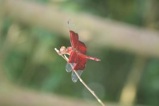 singapore_bukittimah_dragonfly
