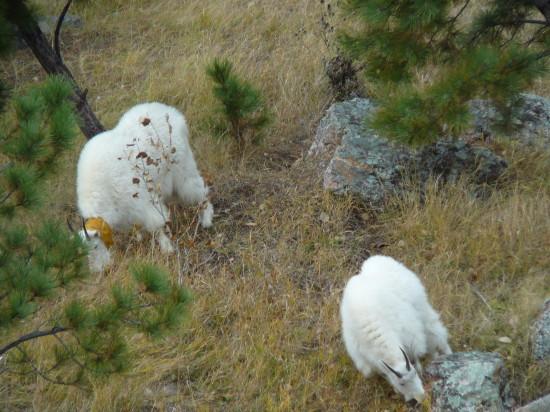 goats_usa_that_wanderlust