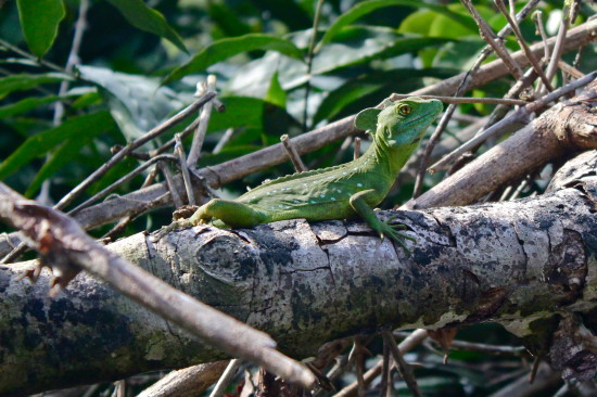 Basiliscus lizard, also known as the Jesus Christ lizard for his ability to run on the surface of water