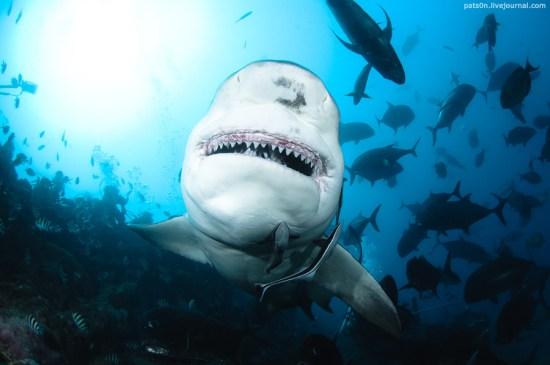 bull sharks-Alexander Safonov