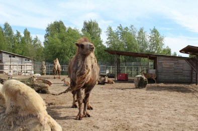 Camel, where's your fur?