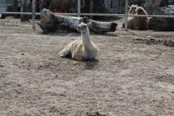 Happy llama.